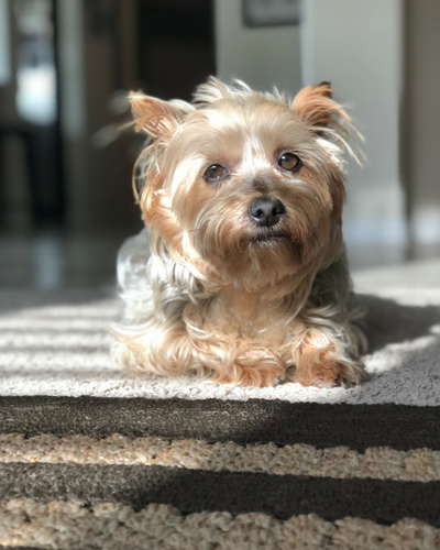 Yorkshire Terrier resting on carpet